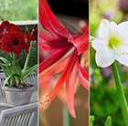 Hippeastrum collection