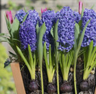 Bulbs for pots -  Blues and pinks