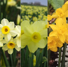 Award-winning perfumed daffodil collection