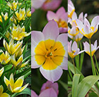 Pastel shades  tulip collection