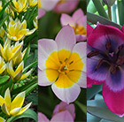 Award winning vibrant species tulip collection