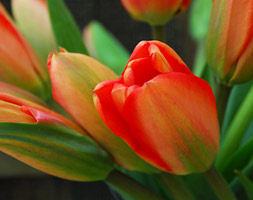 Click to view product details and reviews for Tulipa Aposapeldoornapos Darwin Hybrid Tulip Bulbs.