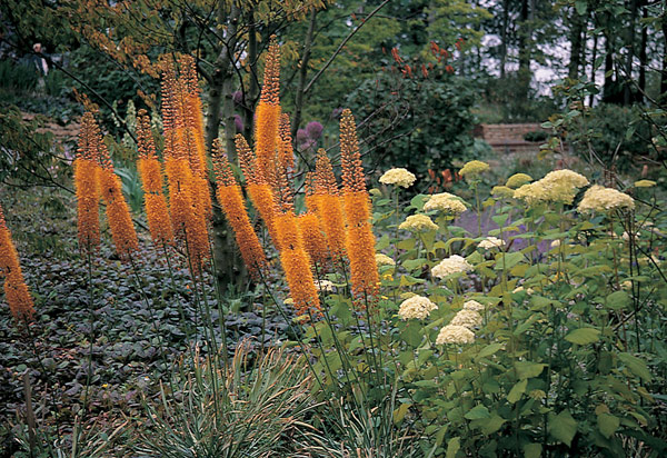 foxtail lily bulb