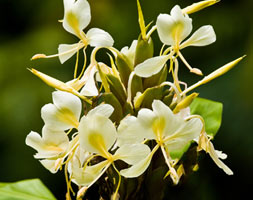 Hedychium Flavescens (Yellow Ginger Lily)
