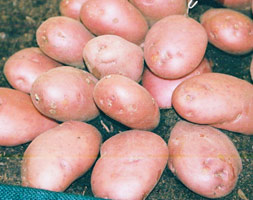 Potato Apossarpo Axonaapos Potato Late Maincrop Potato