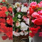 Scented begonia collection