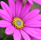 Osteospermum In The Pink