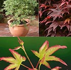 Acer collection &  Free Rootgrow