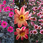Blockbuster Dahlias for bees, butterflies and pots