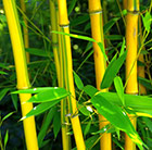 showy yellow-groove bamboo