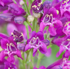 Penstemon Purple Riding Hood (PBR) (Riding Hood Series)