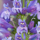 Penstemon Delft's Blue Riding Hood (PBR) (Riding Hood Series)