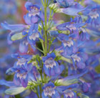 Penstemon Blue Riding Hood (PBR) (Riding Hood Series)