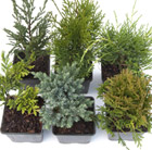 Award-winning conifer collection