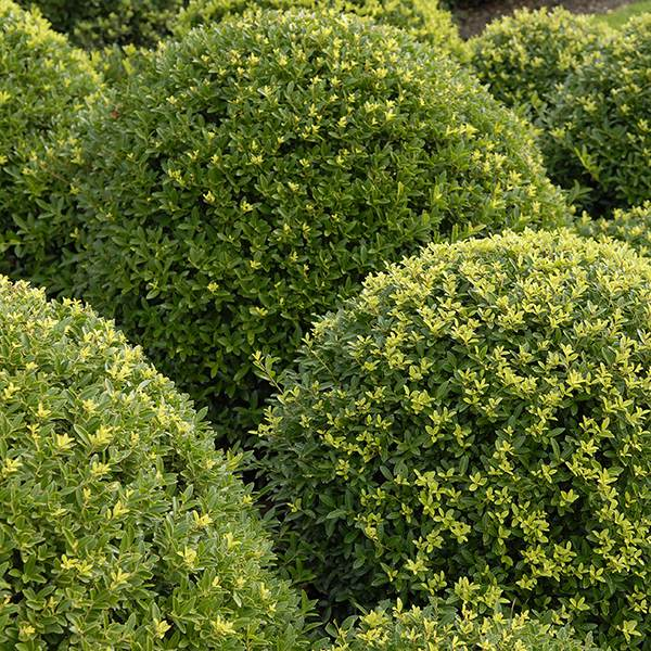 buy box leaved holly ilex crenata 39 dark green 39 icoprins11 39 pbr 39 delivery by crocus. Black Bedroom Furniture Sets. Home Design Ideas