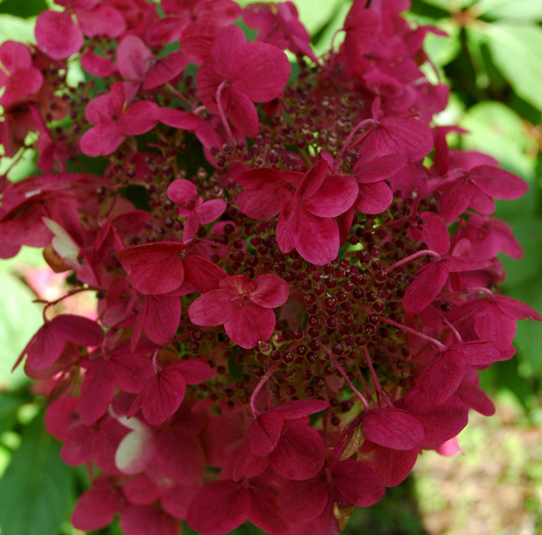 buy hydrangea hydrangea paniculata 39 wim 39 s red pbr 39 delivery by crocus. Black Bedroom Furniture Sets. Home Design Ideas