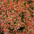 Berberis thunbergii Golden Ruby ('Goruzam') (PBR)