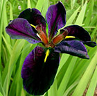 Iris Black Gamecock