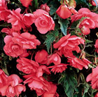 Begonia (Pendula Group) Pink Giant