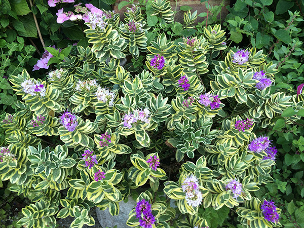 Buy Shruby Veronica Syn Hebe 215 Franciscana Variegata