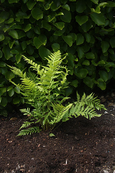 Buy Giant Chain Fern Woodwardia Fimbriata Delivery By
