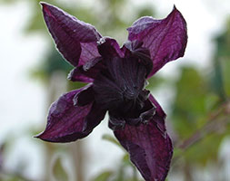 Click to view product details and reviews for Clematis Viticella Aposflore Plenoapos Clematis Group 3 Syn Mary Rose.