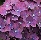 Hydrangea macrophylla Dark Purple (Black Diamonds Dark Purple) (PBR)