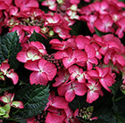 Hydrangea macrophylla Dark Angel (Black Diamonds Dark Angel)
