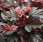 Physocarpus opulifolius Little Angel ('Hoogi016') (PBR)