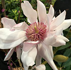 Magnolia Pink Beauty