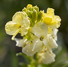 wallflower Primrose Dame