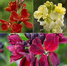Persian wallflower collection