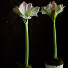 Amaryllis and ceramic pot