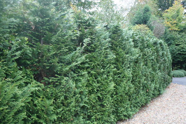 Red Cedar Hedge ~ Buy western red cedar thuja plicata atrovirens delivery