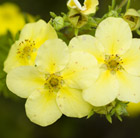 Potentilla fruticosa Primrose Beauty