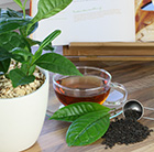 grow your own tea / Camellia sinensis var. sinensis