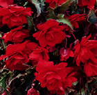 Begonia (Pendula Group) Red Giant