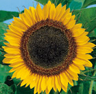 Helianthus Tall Single