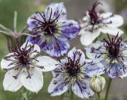 Image of Nigella papillosa 'Delft Blue' (love-in-a-mist)