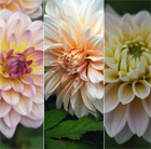 Antique Shades dahlia collection