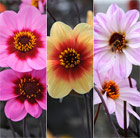 Dahlias for bees &  butterflies