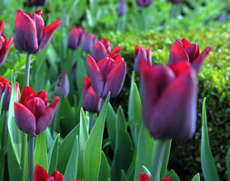 Tulipa andapos;Greuzeandapos; (single late tulip bulbs)