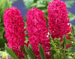 Click to view product details and reviews for Hyacinthus Orientalis Aposjan Bosapos Garden Hyacinth Bulbs.