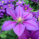 Clematis MME JUlia co sport
