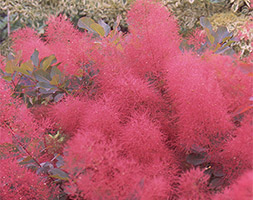 Click to view product details and reviews for Cotinus Aposruby Glowapos Smoke Bush.
