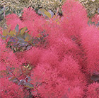 Cotinus Ruby Glow