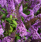Buddleja davidii Peacock ('Peakeep') (PBR) (English Butterfly Series)