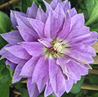 Clematis Princess Charlotte