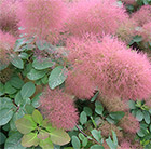 Cotinus Candy Floss