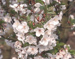 Prunus 'Snow Goose' (ornamental cherry)